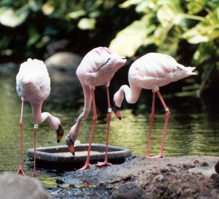 Flamingos; Actual size=130 pixels wide